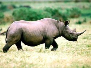 Západní černý nosorožce a jeho způsob života