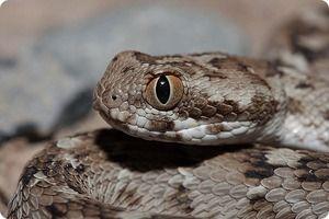 Snake Efa