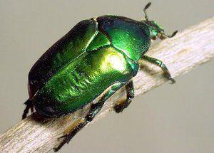 Beetle bronzovka: rysy, larvy a poškození zeleného brouka