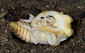larvální stádium brouka