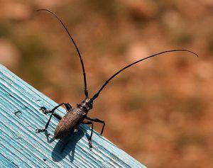 Opiánský chrobák brouka