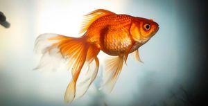 Zlatá rybka: druh, reprodukce, obsah